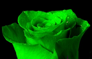 Green-Irish-Rose-84094